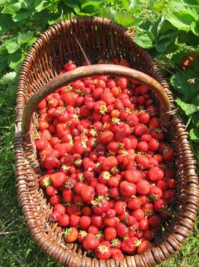 Erdbeeren pfluecken