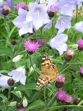 Glockenblume mit Schmetterling